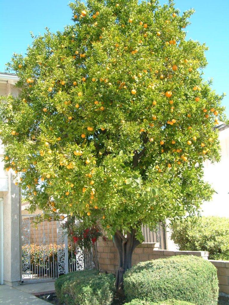 The orange tree in the front of the rental house.