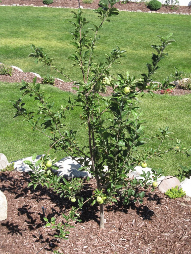 Apple tree that was a stick last year Aug 2010