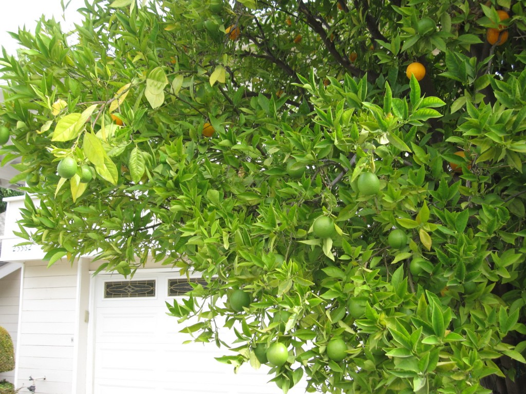 New crop of oranges September 2010