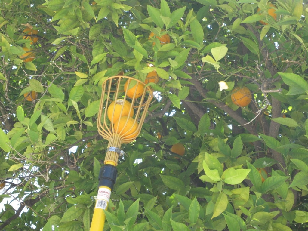 Oranges and the Fruit Picker