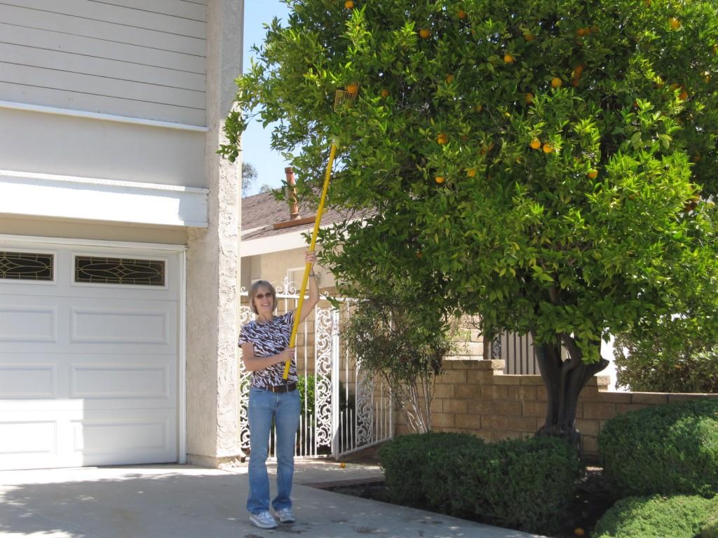 Sonja Picking Fresh Oranges