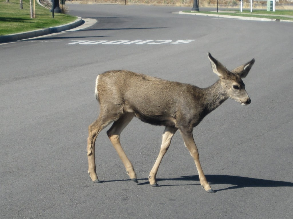 Deer in Herriman after the fire following mama across the road to get to more food.