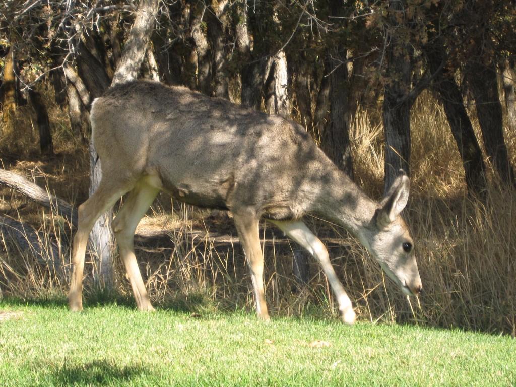 Deer in Herriman