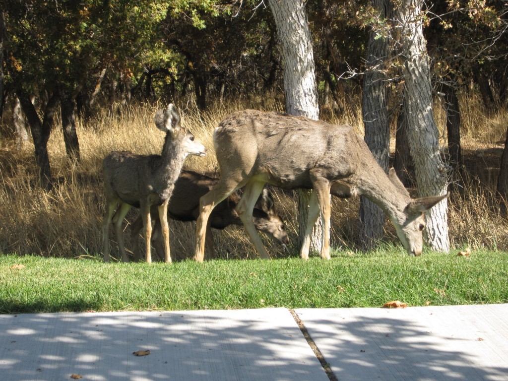 Deer in Herriman eating the grass along the sidewalk