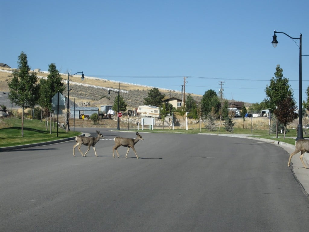 Deer in Herriman after the fire, crossing a road to get to more food.