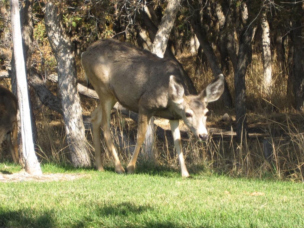 Deer in Herriman trying to find food