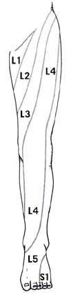 Distribution of Skin Innervation